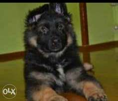 German Shepard puppies imported parents