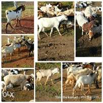Goats for Christmas price on enquiry