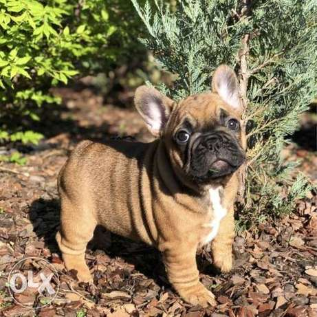 TOP quality french bulldog