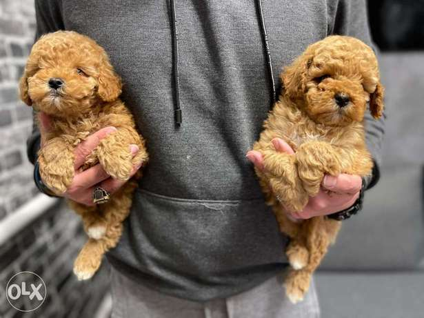 Imported Toy Poodle Puppies males 2 Months club Pedigree Passport