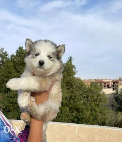 Availabile NOW in Cairo BEST Husky puppies