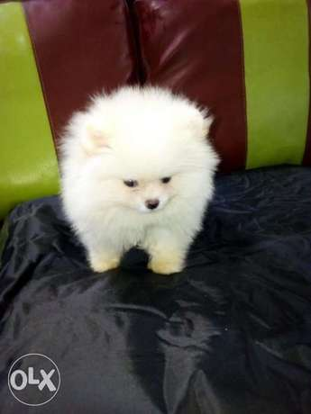 pomeraniam tea cup puppy