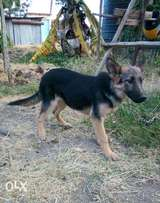 Gsd pure breed