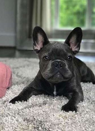 French bulldog puppies, males and females