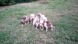 8 puppies for sale