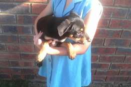 Lab x puppy for sale