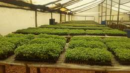 Mint herb seedlings on sale