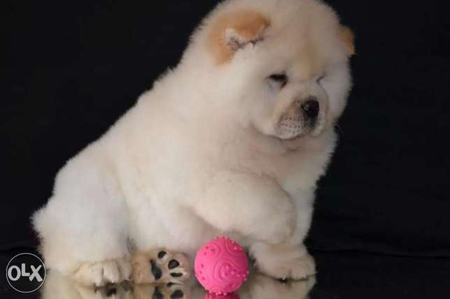 Reserve ur imported chowchow puppy with Pedigree,Passport and microchi