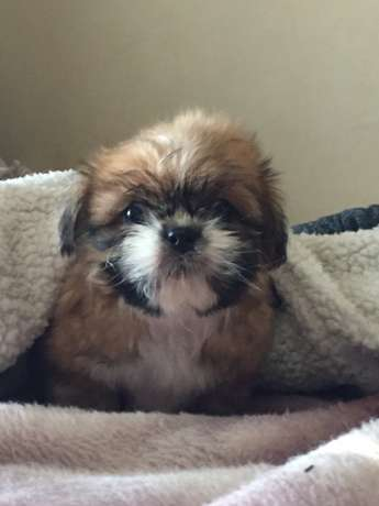 Shih Tzu pups for sale Cythiavale - image 5