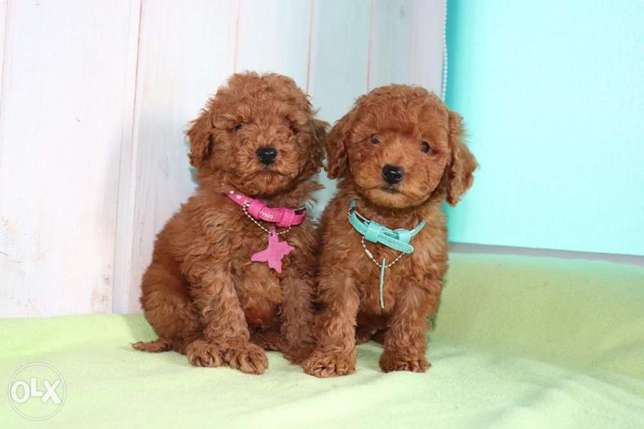 Imported toy poodle puppies, premium quality with all dcs