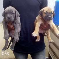 Boerboel puppies both male and female sex for sale at ibadan