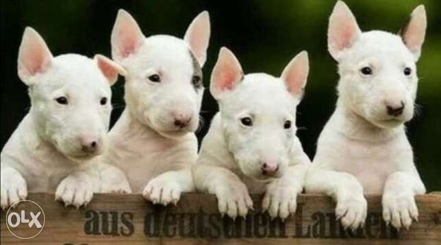 Imported bull terrier puppies.. TOP QUALITY