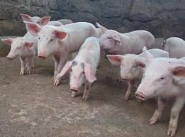 Piglets and Gilts for sale
