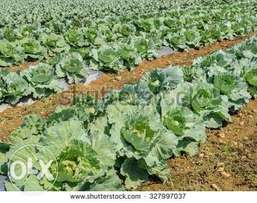 Cabbage for sale in Nyamira