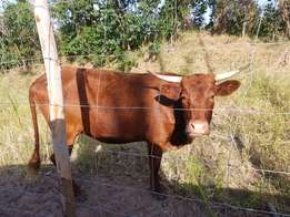 Young Calves for sale