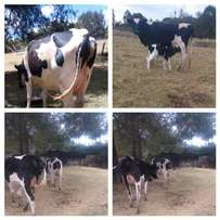 3 -1st calving fresian mothers