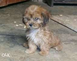 Lhasa pup for sale