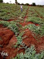 Good fertile melon land 1¾acre on sale in KAkindu Mwea