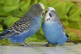Budgies for sale!. From Hendrina Mp