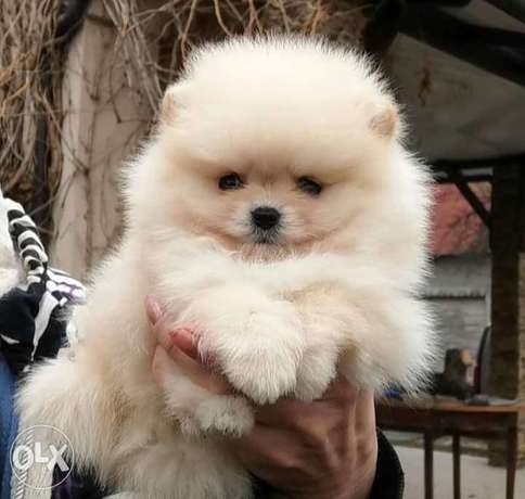 Hurry Up & own the cutest Female Pomeranian