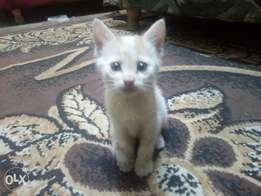 White Kitten needs a new home