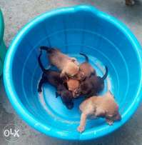 SAUSAGE DOG PUPPIES. One month sausage puppies on sale