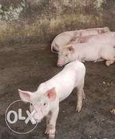 Live and Healthy Pigs: Weaners, Growers,