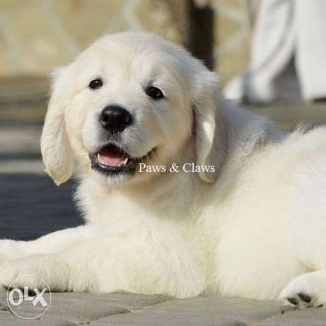 Golden Retriever puppies are offered for reservation.