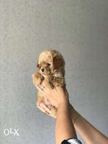 the smartest breed toy poodle