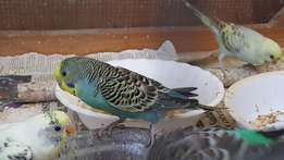 Budgies parrots. Price per pair