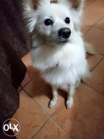 Japanese Female Spitz for Sale Ngando - image 4