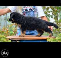 German shepherd puppies, FCI pedigree.. Imported with all dcs