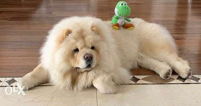chowchow only for meeting