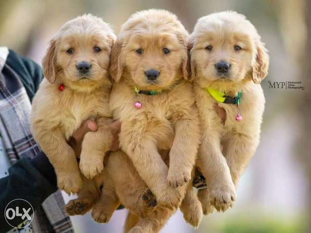 Adorable Golden Retriever Imported Available In Lebanon