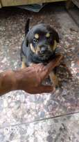 mixed GSD n Rot Puppies for Sale
