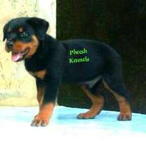 8 Weeks Old Male Rottweiler Puppy From Grisly Bear Blooodline