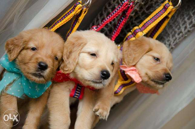 Pure Last two Female golden retriever puppies