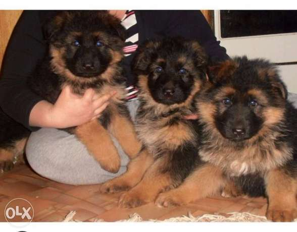 Highest quality and best price imported german shepherd , جيرمن