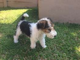 Wire Hair Terriers for sale