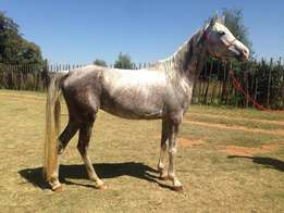 Horse For Sale - Arab Mare
