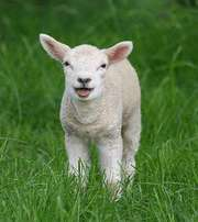 looking for lambs to buy