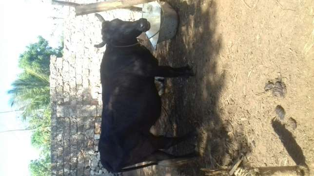 Fresian incalf for sale Kilifi - image 2