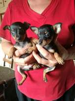 Small Black and tan Miniature Pinscher male and female