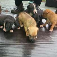 100% pure breed puppies for sale.