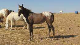 Registered Appaloosa Horses For Sale