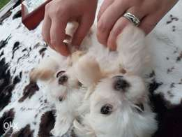 Beautiful pure bred fluffy Maltese Puppies
