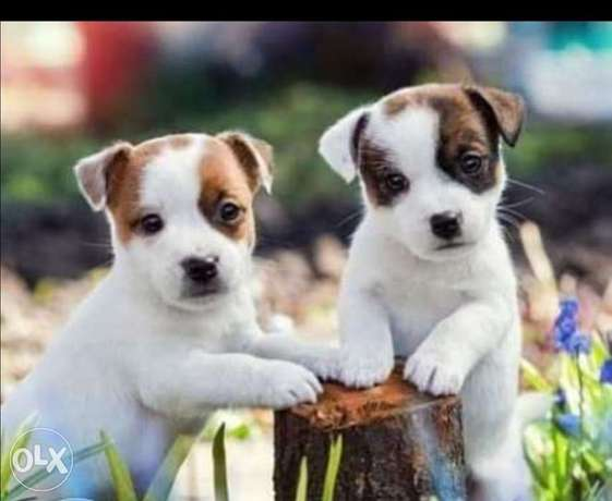 Jack Russell Puppies.. TOP QUALITY