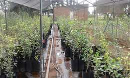 Populus Simonii Trees for sale