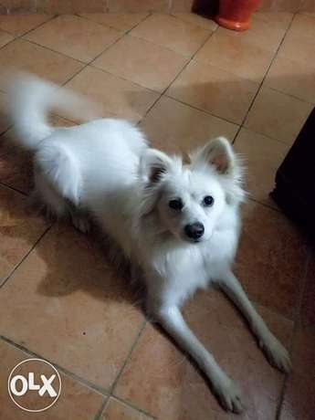Japanese Female Spitz for Sale Ngando - image 3