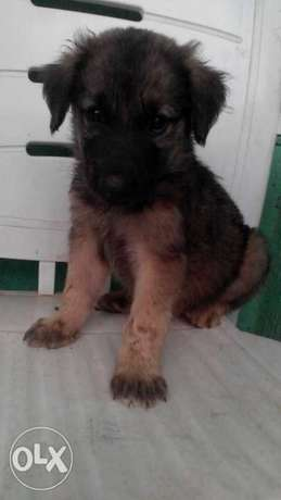 Caucasian/Gsd male and female for sale Ikotun - image 4